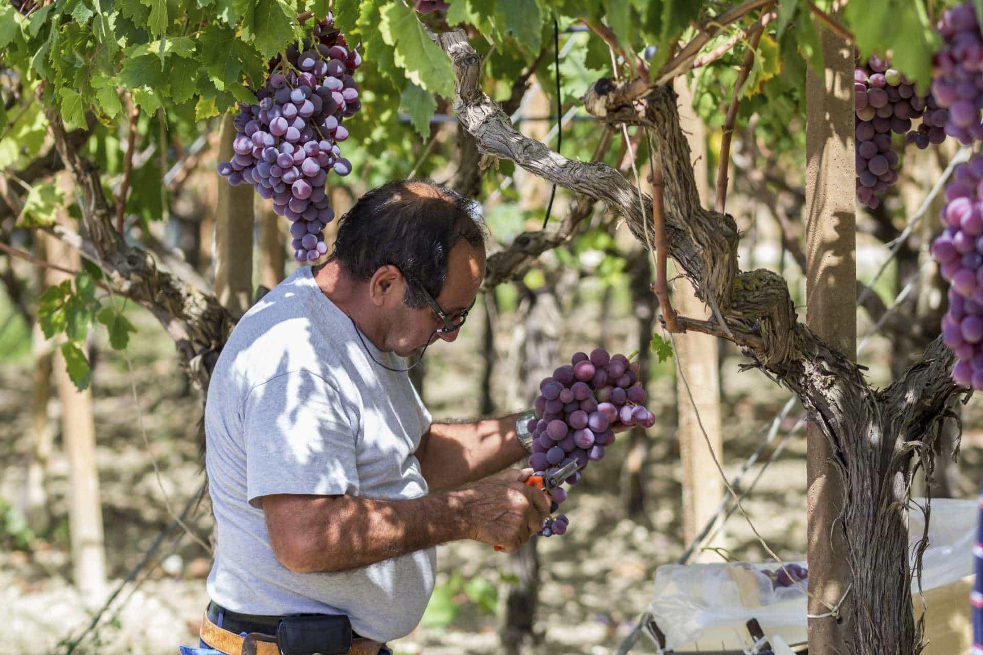 Western Mediterranean Grape