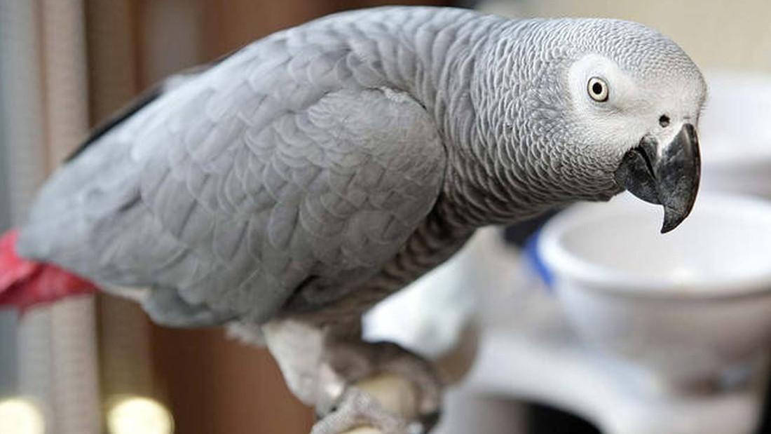 Βρέθηκε παπαγάλος με το όνομα και πιθανότατα με το μυαλό του Άινσταϊν