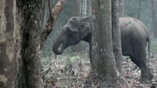 Θεριακλής ελέφαντας απολαμβάνει το τσιγαράκι του στο δάσος