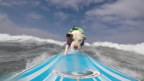 Αυτό το πίτμπουλ κάνει καλύτερο surfing από σένα