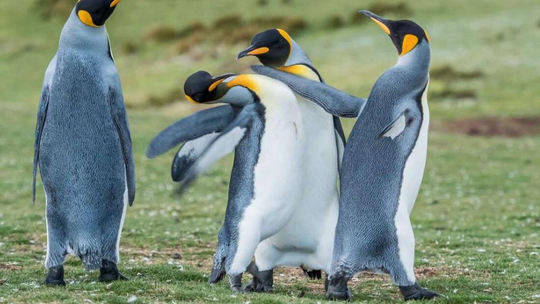 Τσακωμός αντρικών πιγκουίνων για τα μάτια της θηλυκιάς