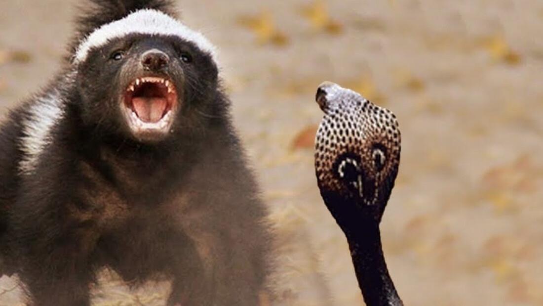 Λένε ότι είναι το πιο επικίνδυνο ζώο του πλανήτη!