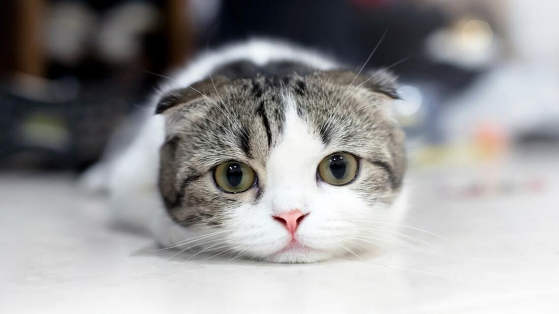 Ξέρεις για ποιο λόγο γουργουρίζουν οι γάτες;