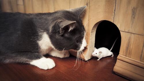Γάτα τραμπουκίζει αρουραίο και το μετανιώνει πικρά