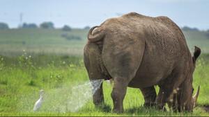Το πιο αστείο στιγμιότυπο: Ρινόκερος «τα κάνει» πάνω σε πάπια!