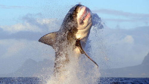 Και όμως ο λευκός καρχαρίας τρέμει αυτό το ζώο!