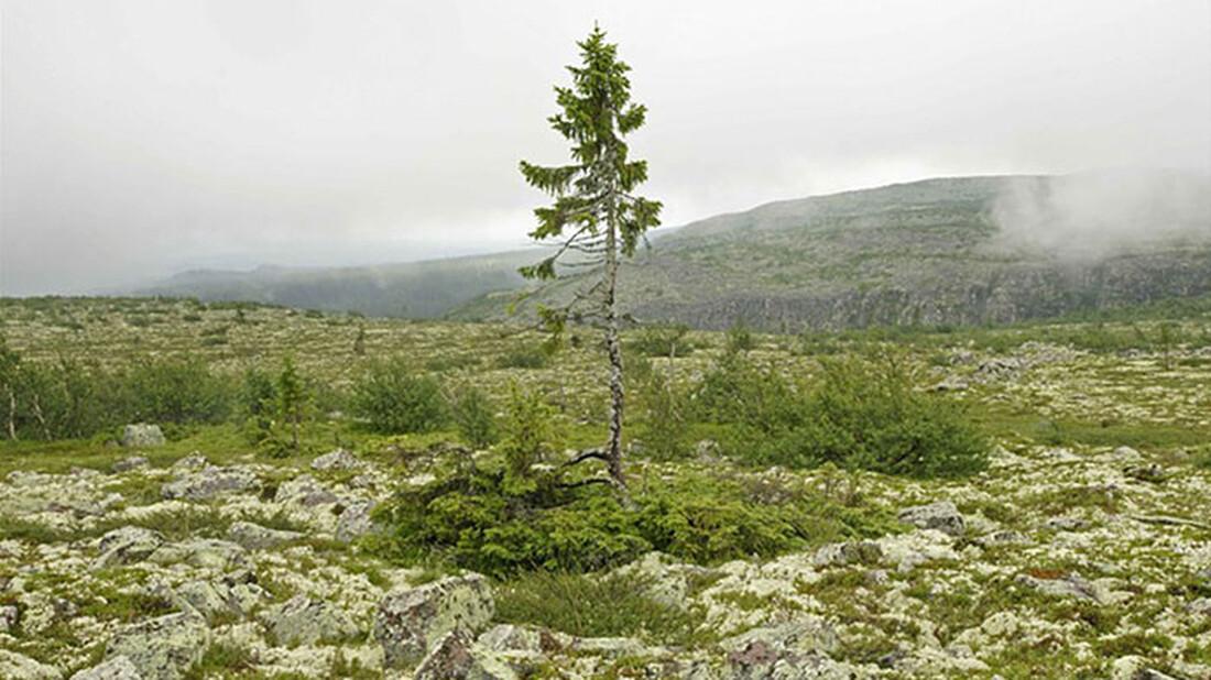 Αυτό είναι το πιο αρχαίο δέντρο του κόσμου