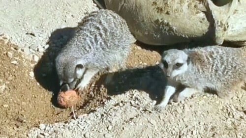 Σουρικάτες! Τα σπάνια ζώα που τρέφονται με... σκορπιούς και έχουν ανοσία στο δηλητήριό τους (video)