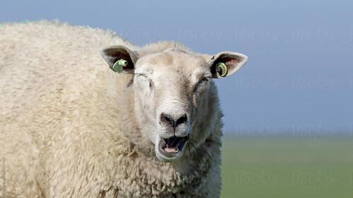 Δες τι έγινε επειδή τσάντισε το πρόβατο