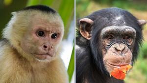 Αυτή είναι η διαφορά μεταξύ χιμπατζή και πιθήκου