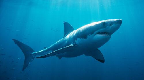 Αυτός είναι ο καρχαρίας που περπατάει