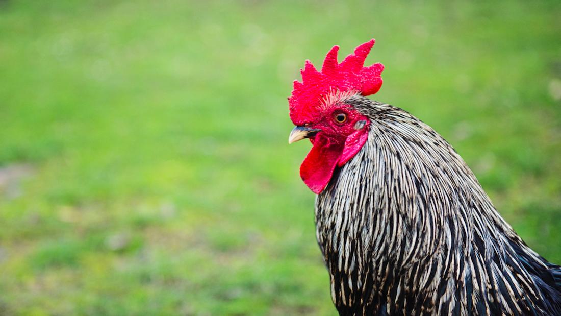 Το ήξερες; Γιατί λαλούν οι κόκορες κάθε πρωί;