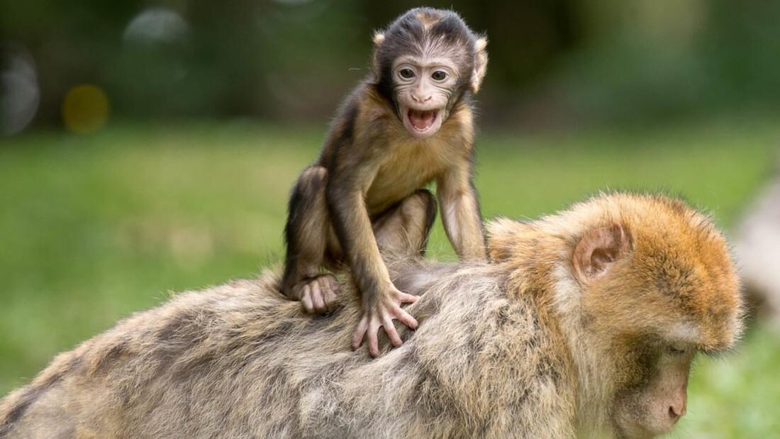 Ξέρεις γιατί λέμε «μαϊμού» τις απομιμήσεις;