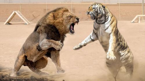 Λιοντάρι εναντίον τίγρης: Ποιος θα βγει νικητής από αυτή τη θανάσιμη μάχη;