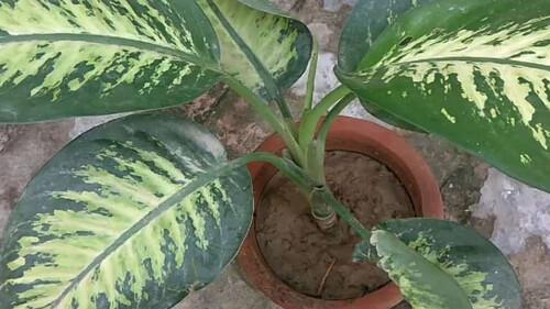 Προσοχή: Αν έχετε αυτό το φυτό στο σπίτι σας μπορεί να πάθετε τοξική δηλητηρίαση