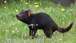 Γεννήθηκαν για πρώτη φορά Διάβολοι της Τασμανίας στην Αυστραλία μετά από χιλιάδες χρόνια